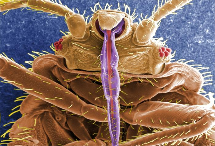 Bed_Bug_Probiscus